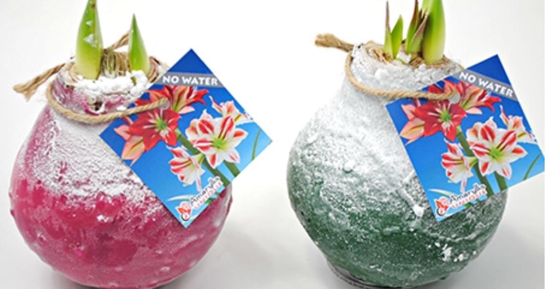 amaryllis bol met sneeuw